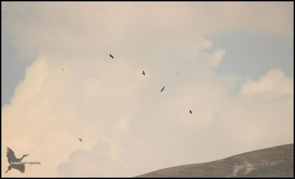 Varios quebrantas volando juntos (16-7-2015)