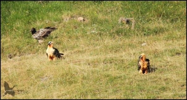 Tres quebrantahuesos posados simultáneamente (17-7-2015)