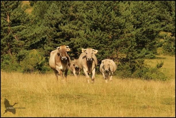 Vacas (17-7-2015)