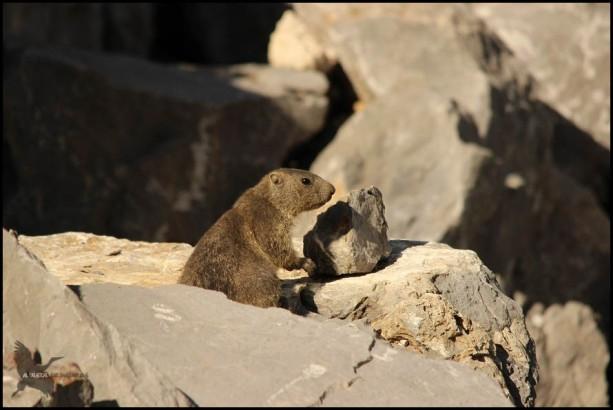 Marmota más pequeña de tonos más pardos (12-8-2015)
