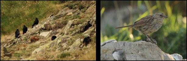Grupo de chovas piquigualdas y piquirrojas y una cría de acentor común (9-8-2015)