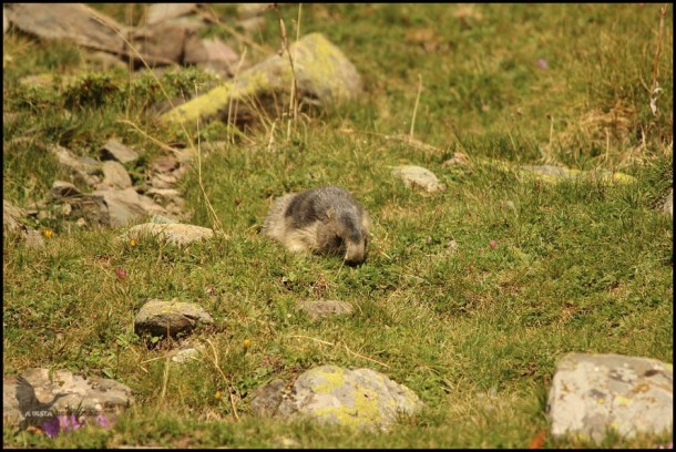Marmota comiendo (10-8-2015)