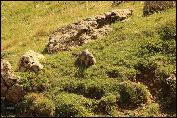 Marmota comiendo hierbas, algo que si que hace de verdad, no como la previsión del tiempo... jejejeje (11-8-2015) (11-8-2015)