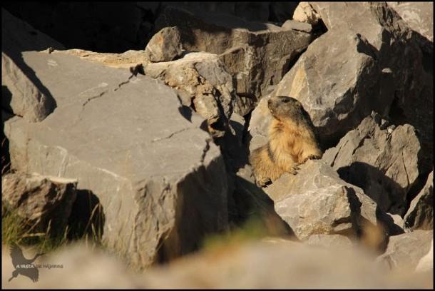 Marmota de buen tamaño (12-8-2015)