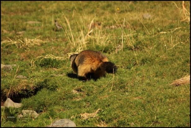 Marmota de tonos muy rojizos corriendo ladera hacia arriba (10-8-2015)