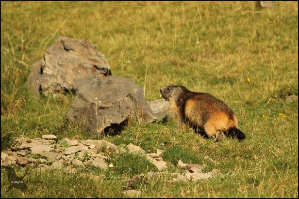 Marmota ya con buen tamaño (10-8-2015)