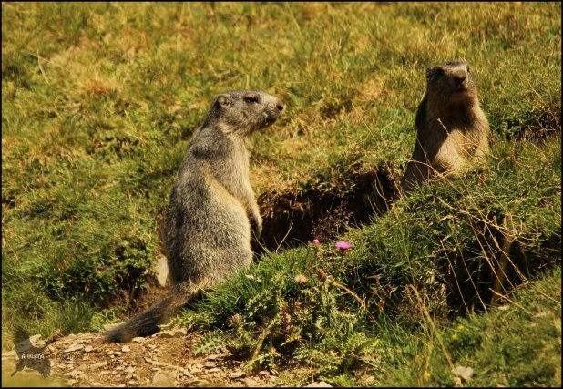 Pareja de marmotillas, ambas erguidas (10-8-2015)