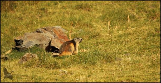 Marmota tranquila en un puen pastizal (10-8-2015)