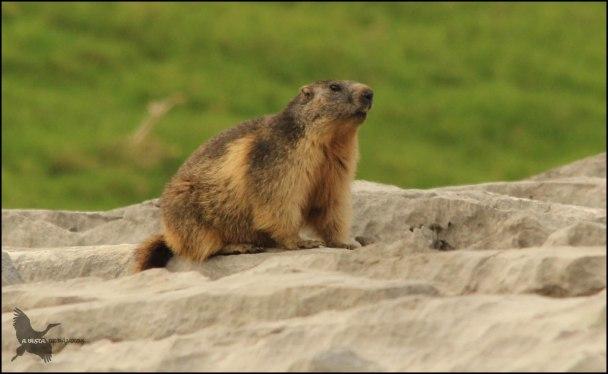 Marmota en una roca (22-6-2015)