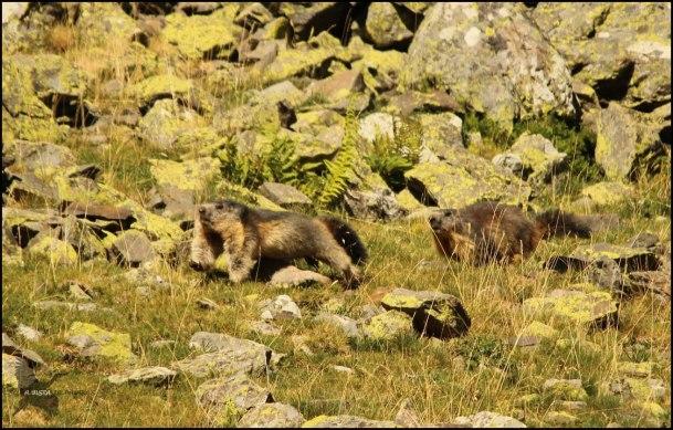 Marmota corriendo tras la otra mientras sale huyendo... (10-8-2015)