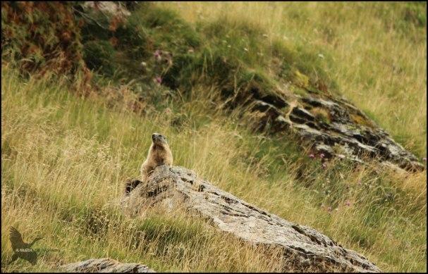 Marmota subida a una roca (9-8-2015)