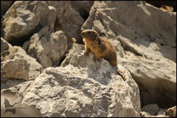 Marmota posada en rocas con tonos amarillentos (22-6-2015)