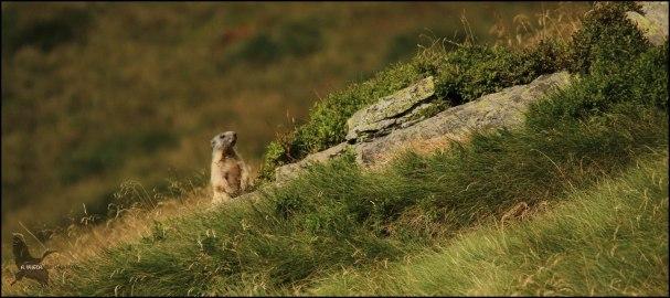 Marmota erguida vigilando (9-8-2015)