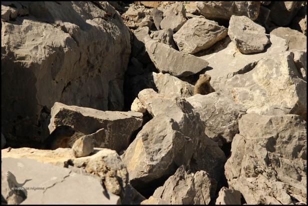 Pareja de marmotas (12-8-2015)