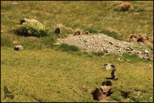 Pareja de marmotas en una misma marmotera (10-8-2015)