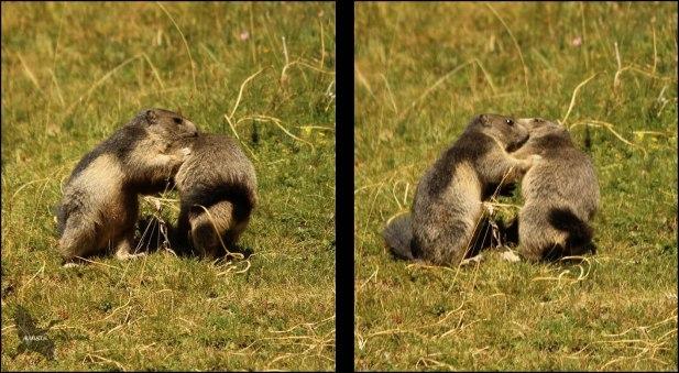 Momento en el que se enganchan ambas marmotas y se ponen a dos patas (10-8-2015)