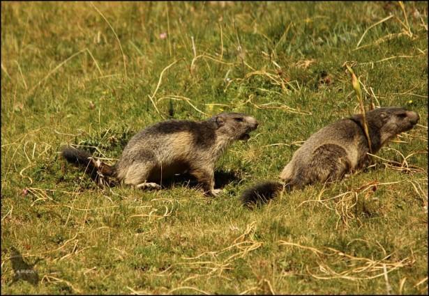 Y tras enseñar la dentadura, una de las marmotas parec que decide abandonar el lugar... (10-8-2015)