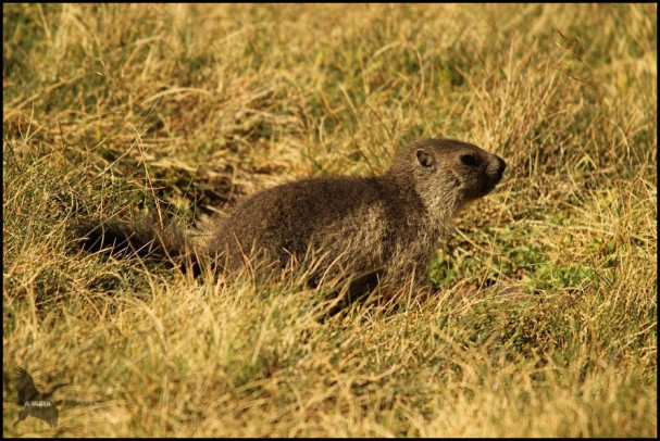 Marmota pequeñaja nacida en 2015 (10-8-2015)