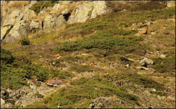 Sarrios en una ladera (10-8-2015)
