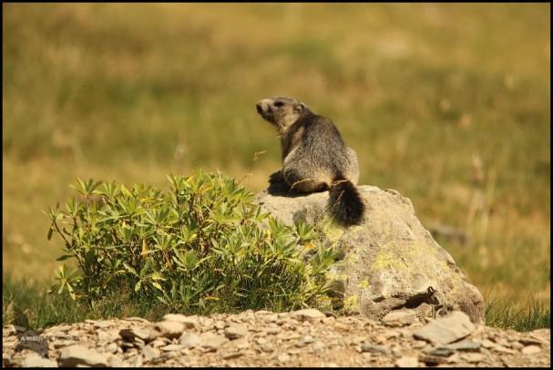 Marmota en una roca (10-8-2015)
