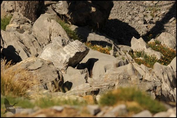 Sombra de roca con forma de marmota. Curiosa y engañosa... (12-8-2015)