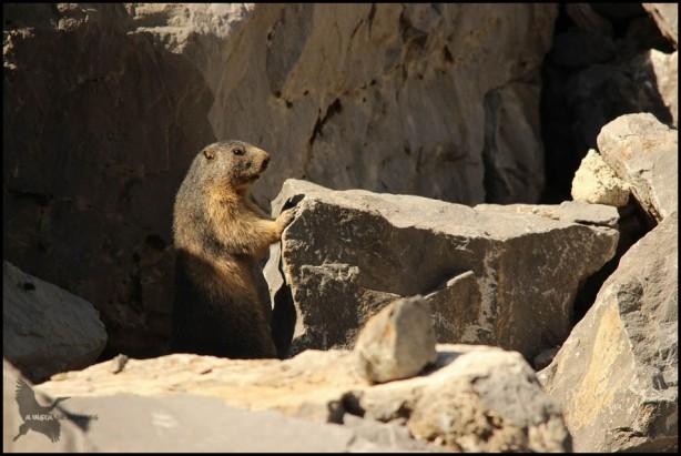 marmota alerta mirando tras una roca (12-8-2015)