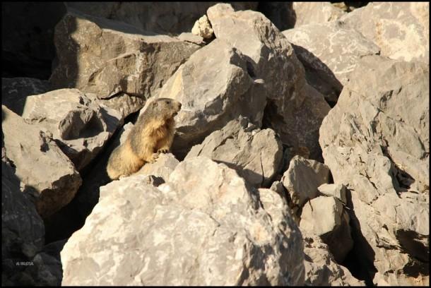 Marmota en lo alto de una piedra (12-8-2015)