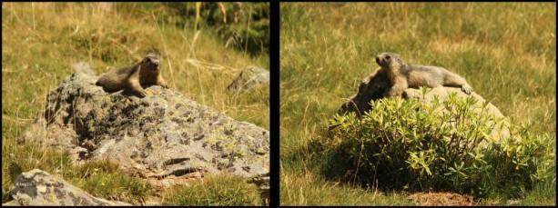 Marmotas tumbadas en piedras (10-8-2015)
