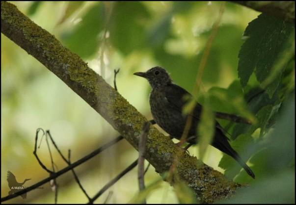 Polluelo de mirlo (27-8-2015)