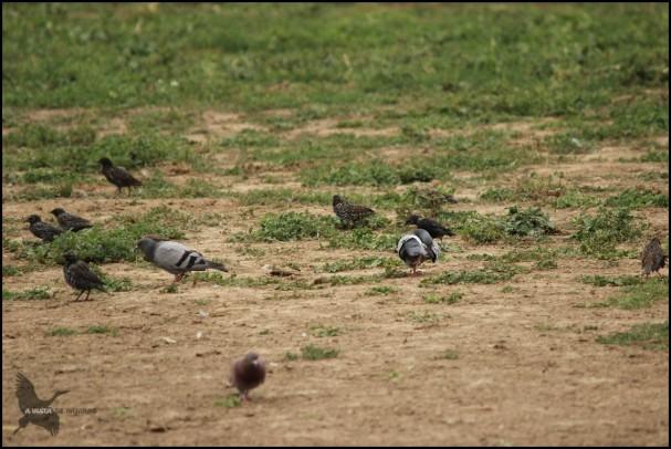 Mezcla de aves (27-8-2015)