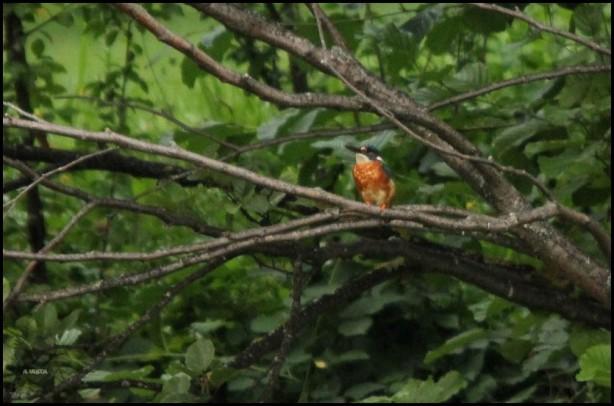 Martín pescador posado en una rama (27-8-2015)