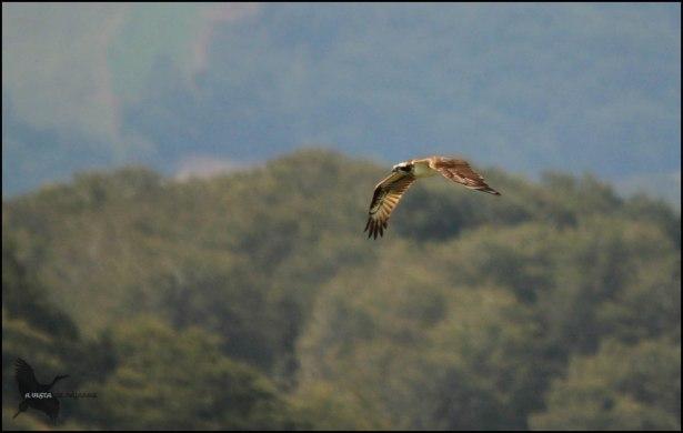 Águila pescadora (26-8-2015)