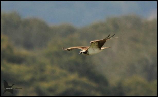 Pescadora volando bastante lejana (26-8-2015)