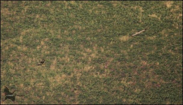 Abejeros volando muy bajos (26-8-2015)