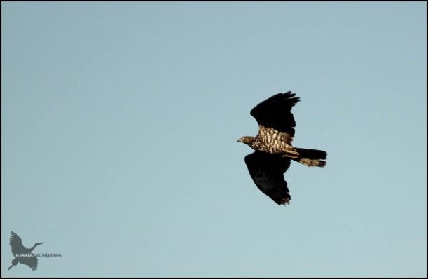 Abejero volando, donde se le ve muy bien el barreado del cuerpo (26-8-2015)