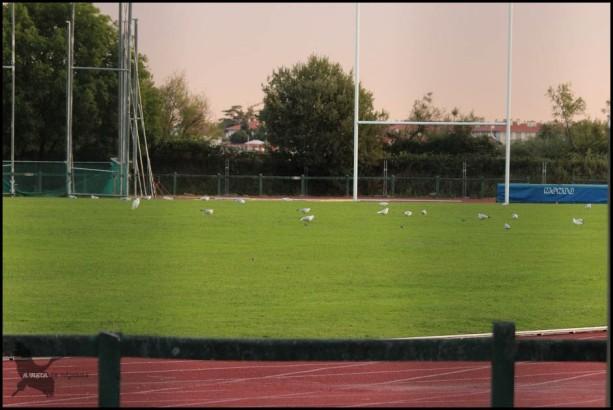 Gaviotas en la pista de atletismo (17-9-2015)