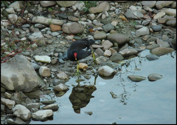 Gallineta caminando (18-9-2015)