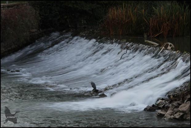 Garza en la presa de Santa Engracia (18-9-2015)