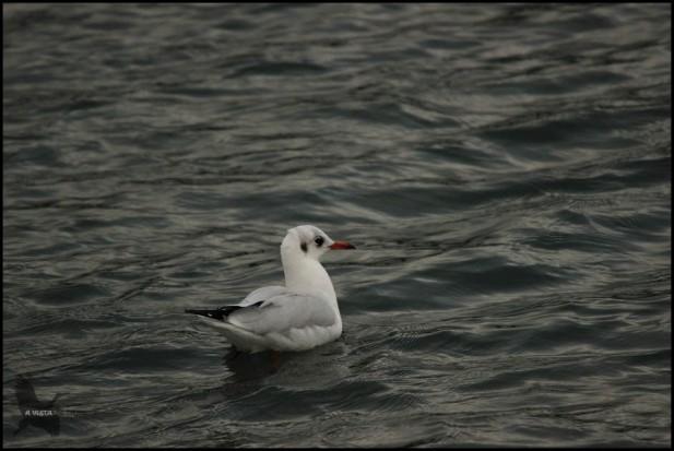 Reidora nadando (17-9-2015)