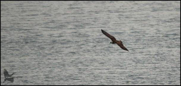 Pescadora en vuelo (17-9-2015)