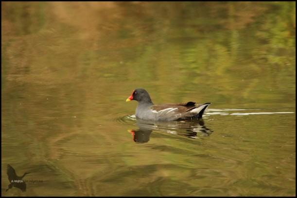 Polla de agua (17-9-2015)
