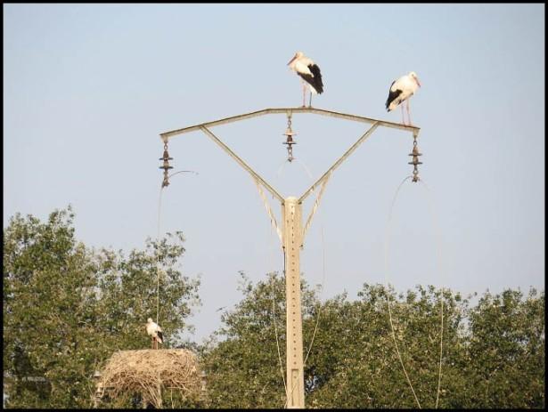 Cigüeñas posadas en un poste (27-9-2015)