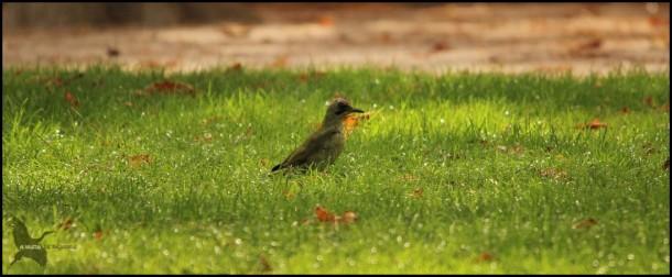Pito real en el jardín (23-9-2015)