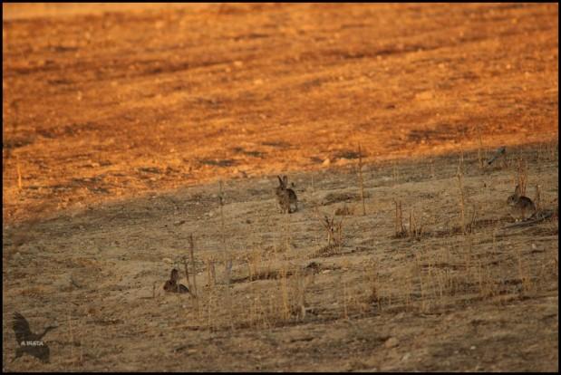 Conejos con las primeras luces (27-9-2015)