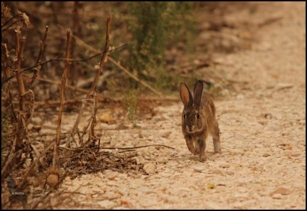 Conejo corriendo (26-9-2015)