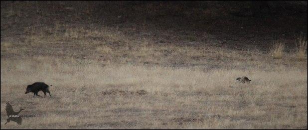 Jabali huyendo del zorro (25-9-2015)