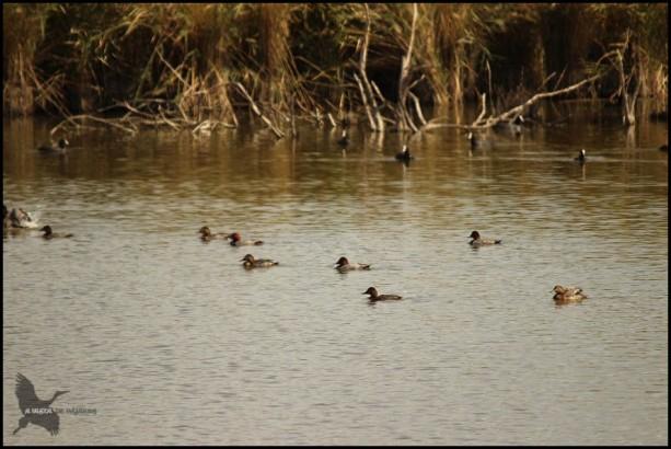 Porrones en el agua (25-9-2015)