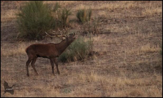 Ciervo berreando cercano a hembras (26-9-2015)