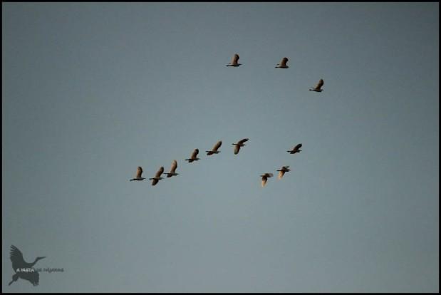 Garcillas bueyeras en vuelo (27-9-2015)