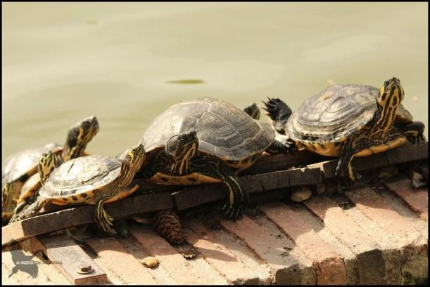 Tortugas exóticas (23-9-2015)